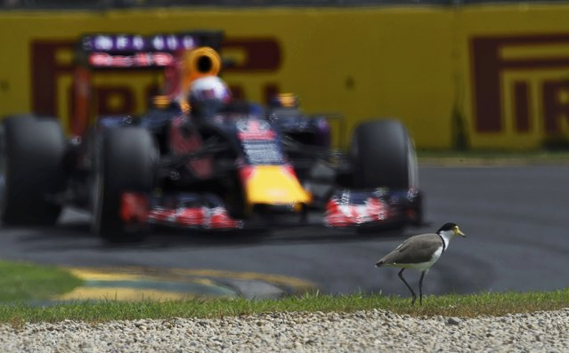 Red Bull Formula One driver Daniel Ricciardo of Australia drives past a plover bird during the third practice session of the Australian F1 Grand Prix at the Albert Park circuit in Melbourne March 14, 2015. (Photo by Jason Reed/Reuters)