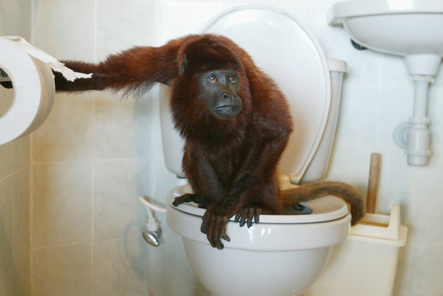Julian, a pet red howler monkey, uses the toilet in La Pintada, Antioquia province, Colombia February 12, 2007. (Photo by Albeiro Lopera/Reuters)