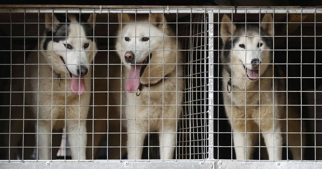 Husky dogs wait to run during practice for the Aviemore Sled Dog Rally in Feshiebridge, Scotland, Britain January 24, 2017. (Photo by Russell Cheyne/Reuters)