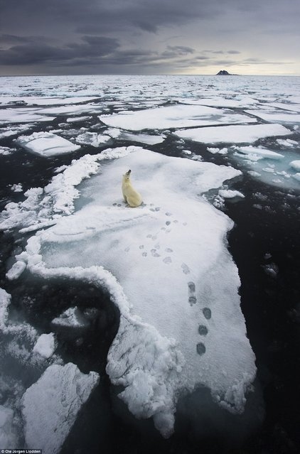 "In a picture titled ""Living on Thin Ice"", a lone polar bear takes a break on an ice floe around the islands of Svalbard in northern Norway earlier summer. ""The landscape, the shape of the ice floe, the shape of the bear, and the footprints were just perfect"", photographer Ole Jørgen Liodden said in a statement. (Photo by Ole Jørgen Liodden)"