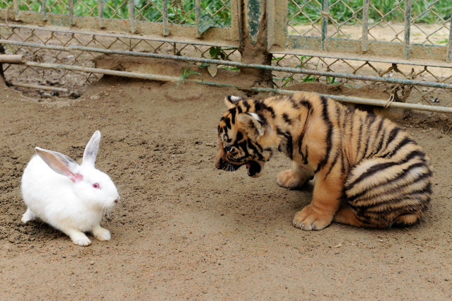 This picture taken on September 10, 2013 shows a baby Amur tiger, also known as a Siberian tiger, approaching a rabbit in Qingdao Forest Wild Animal World in Qingdao, east China's Shandong province. (Photo by AFP Photo/Stringer)