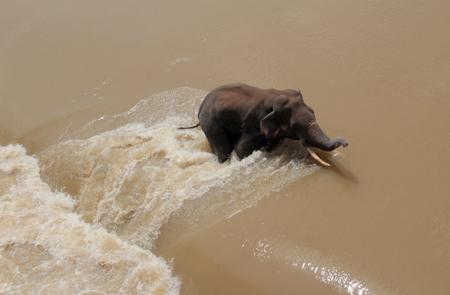A wild elephant is seen in the flood water as it trapped at the Mundali barrage in Mahanadi river when a herd crossing the flooded river just outskirts of the eastern Indian state Odisha's capital city Bhubaneswar on September 25, 2021. (Photo by NurPhoto/Rex Features/Shutterstock)