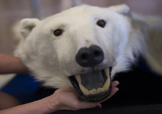 A customs officer holds the head of a polar bear rug, which was attempted to be smuggled into Germany from Norway, in Berlin, Germany March 22, 2013. (Photo by Thomas Peter/Reuters)