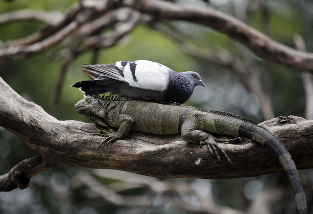 A pigeon rests on a wild iguana in a tree inside Seminario Park in Guayaquil, Ecuador, Thursday, April 3, 2014. Pigeons coexist with the wild iguanas at this park in the middle of the city surrounded by savannah. (Photo by Dolores Ochoa/AP Photo)