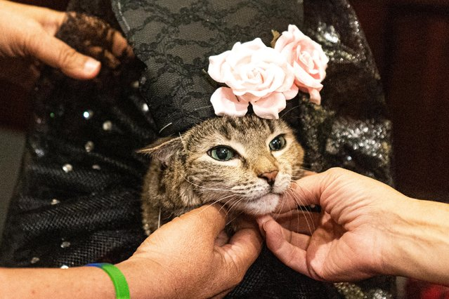 Mrs.Parberry, dressed inspired by a flamenco dress, is seen at backstage before the Algonquin Hotel's Annual Cat Fashion Show in the Manhattan borough of New York City, New York, U.S., August 1, 2019. (Photo by Jeenah Moon/Reuters)