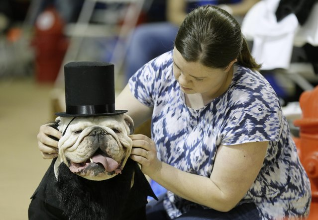 Colleen Kelley, of Iowa City, Iowa, fixes the hat on her dog Bruce during judging at the 35th annual Drake Relays Beautiful Bulldog Contest, Monday, April 21, 2014, in Des Moines, Iowa. The pageant kicks off the Drake Relays festivities at Drake University where a bulldog is the mascot. (Photo by Charlie Neibergall/AP Photo)