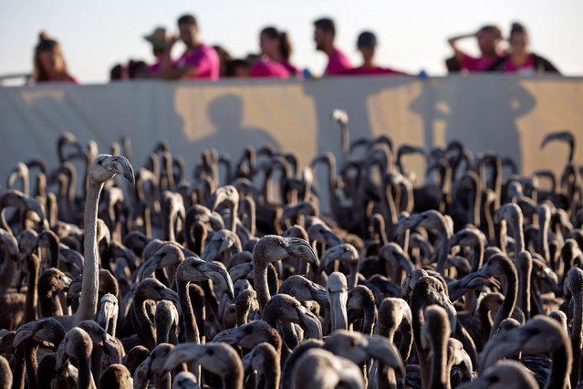 Flamingo chicks are seen during their ringing campaign in the Lagoon in Fuente de Piedra, Malaga, Spain, 17 August 2019. Scientists, nature lovers and neighbors of the region are part of the 500 Volunteers taking part in this year's ringing campaign for one of the most important flamingo areas in which they reproduce within the Mediterranean and Northwest Africa. This year 7,472 chicks were born, three times more than the previous year. (Photo by Daniel Perez/EPA/EFE)