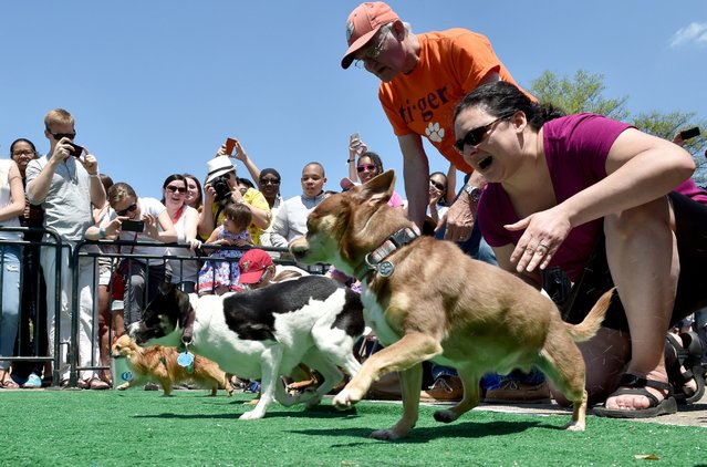 "Chihuahua dog owners release their pets to compete in the ""Run of the Chihuahuas"" annual race in Washington on May 3, 2014. The annual Chihuahua race marks the Mexican holiday Cinco de Mayo celebrated on May 5. (Photo by Mladen Antonov/AFP Photo)"