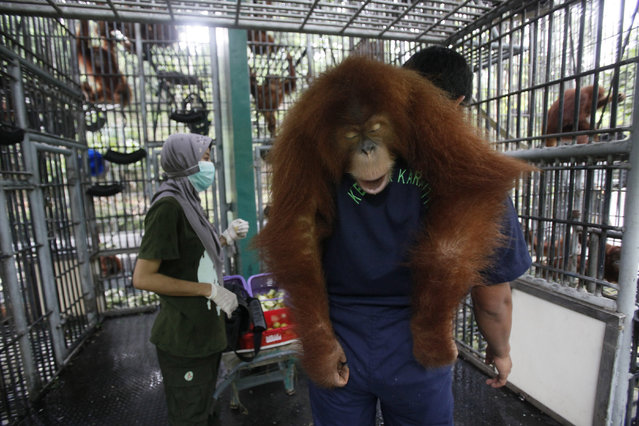A worker of Sumatran Orangutan Conservation Programme carries a tranquilized Sumatran orangutan as it's being prepared to be released into the wild at a rehabilitation center in Kuta Mbelin, North Sumatra, Indonesia, Friday, July 10, 2015. (Photo by Binsar Bakkara/AP Photo)