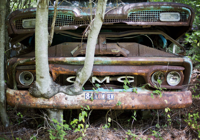 A tree grows onto the fender of a 1953 GMC truck as it sits at Old Car City, the world's largest known classic car junkyard Thursday, July 16, 2015, in White, Ga. (Photo by David Goldman/AP Photo)