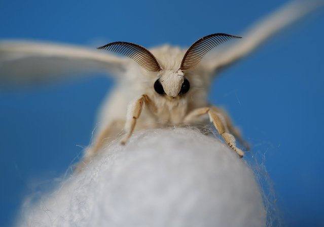 A silkmoth that has hatched out of its cocoon is seen at the Campoverde cooperative, Castelfranco Veneto, Italy June 4, 2015. Despite having wings, the adult moth cannot fly. Clusters of silkworms munch on piles of locally-grown mulberry leaves in a white marquee in Italy's northern Veneto region. They are nourishing hopes of a revival of Italy's 1,000 year-old silk industry. (Photo by Alessandro Bianchi/Reuters)