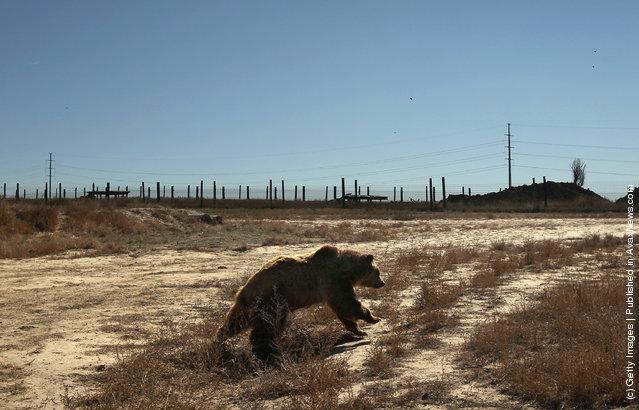 A grizzly bear runs through free-roaming habitat at The Wild Animal Sanctuary