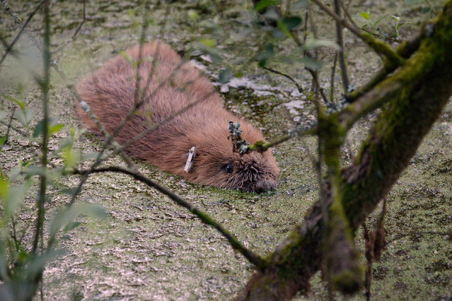 One of a pair of beavers released into a river in Devon to boost the genetic diversity of England's only wild population of the mammals. The male and female were set free on the River Otter as part of a five-year trial to monitor the impact of Eurasian beavers, a species hunted to extinction hundreds of years ago in the UK, on the surrounding landscape, wildlife and economy. (Photo by Nick Upton/Naturepl.com/PA Wire)