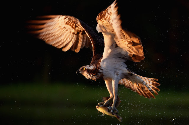 An Osprey catches two Rainbow Trout at Rothiemurchus on June 6, 2016 in Kincraig, Scotland. Ospreys migrate each spring from Africa and nest in tall pine trees around the Aviemore area, the raptor was hunted to the point of extinction in the Victorian era, their migratory habits eventually brought them back to Scotland with the first successful breeding pair being recorded in 1954. (Photo by Jeff J. Mitchell/Getty Images)