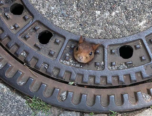A squirrel stuck in a drain cover in Dortmund, Germany on June 20, 2019. The entire cover had to be removed and taken with the squirrel to a veterinary clinic where the creature was given anaesthetic, freed and treated for neck wounds before it was released back into the wild. (Photo by Feuerwehr Dortmund/AP Photo)