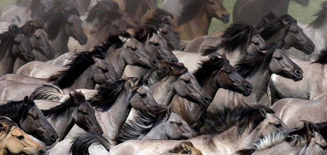 Wild horses are driven into an arena to pick out young stallions in Duelmen, Germany on May 26, 2012