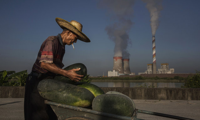 A Chinese farmer loads his melons onto a cart on Shezai Island where the Sun Yat-Sen University-Michigan University Joint Center of Vector Control for Tropical Disease is conducting its release field program on June 23, 2016 in Guangzhou, China. Considered the world's largest mosquito factory, the laboratory raises millions of male mosquitos for research that could prove key to the race to prevent the spread of Zika virus. (Photo by Kevin Frayer/Getty Images)