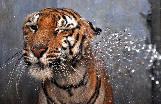 A Bengal tiger, sprayed with water by a zookeeper on a hot summer day at the Birsa Munda Zoological Park in Ranchi, India, on May 30, 2012. Zoo authorities are helping the animals cope with temperatures in excess of 40 degrees Celsius (104F) by providing coolers, special roofs and regular hose-downs. (Photo by STR/AFP)