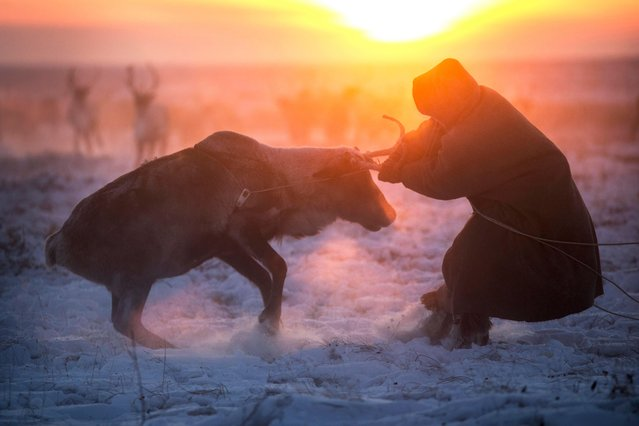 One of the Nenets tribe members pulls a reindeer back to the herd during the migration period in Siberia, December 2016. (Photo by Timothy Allen/Barcroft Productions)