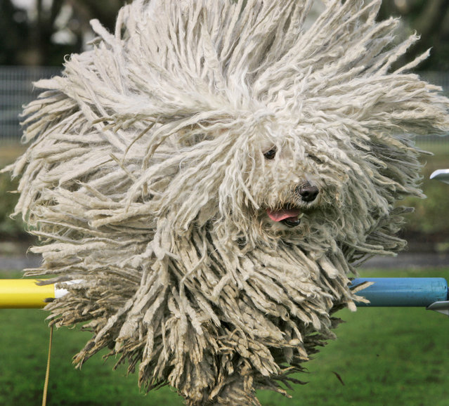 Hungarian Puli sheep dog, Fee, jumps over a hurdle during a preview for a pedigree dog  show in Dortmund on Thursday April 24, 2008. (Photo by Frank Augstein/AP Photo)