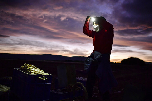 Maria Rivera, a 42-year-old seasonal worker, wears face mask to protect against coronavirus while collecting white asparagus from the field using lanterns in Uterga, around 15 km (9 miles) from Pamplona, northern Spain, Sunday, April 5, 2020. (Photo by Alvaro Barrientos/AP Photo)