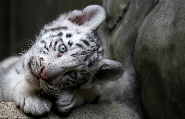 An Indian white tiger cub rests at the Liberec Zoo in the Czech Republic on September 8, 2012. Three rare white tigers were born there on July 1, 2012. (Photo by Petr Josek/Reuters)