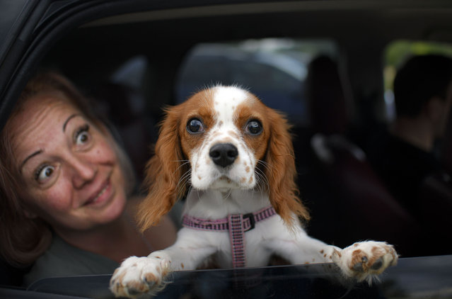 Buddy the dog peers from a vehicle before the start of a movie at a drive in cinema in Snagov, Romania, Monday, June 1, 2020. Romania further loosened the measures imposed during a nationwide lockdown in order to limit the spread of the COVID-19 infections, with museums, open air restaurants, cinemas and beaches opening for public on Monday. (Photo by Andreea Alexandru/AP Photo)
