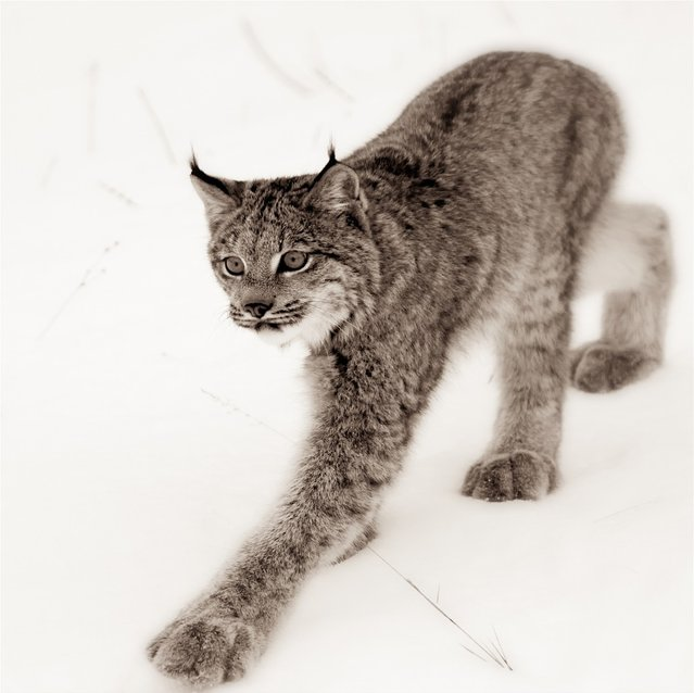"""Keep On Trucking, Mr. Lynx!"". Canadian Lynx Study."