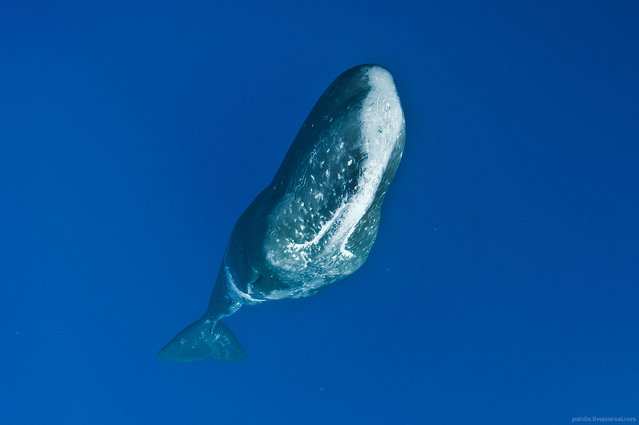 """Sperm whale hanging vertically in the water column, Ogasawara Islands, Japan. Despite being part of what is called ""charismatic mega-fauna"" sperm whales are hardly photogenic. They appear like some sort of rocks or even asteroids ridden with ""craters"" – scars from giant squid tentacles acquired during violent battles at the extreme depths of the ocean. In this photo whale is hanging vertically in the water, and I'm positioned above him. For someone not familiar with the subject it might not be easy to figure out that they are looking at! It is quite challenging to make good pictures of sperm whales which will have broad audience appeal"". (Alexander Safonov)"