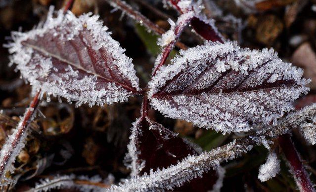 After a cold night, frost covers plants in a field in Forestburgh, N.Y., December 12, 2012. (Photo by Tom Bushey/Times Herald-Record)