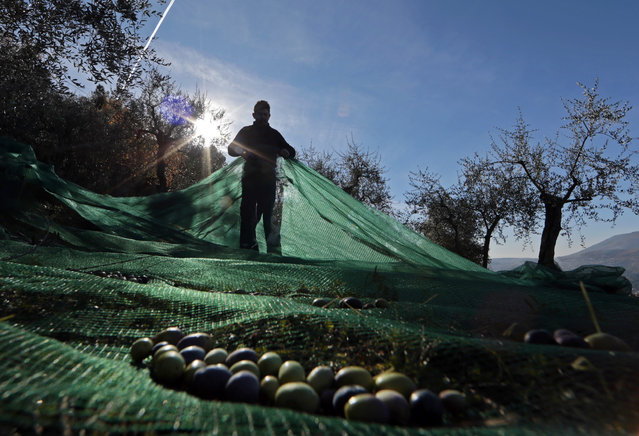 A man uses nets to harvest olives under olive trees near the village of Castagniers, north of Nice, December 5, 2013. (Photo by Eric Gaillard/Reuters)