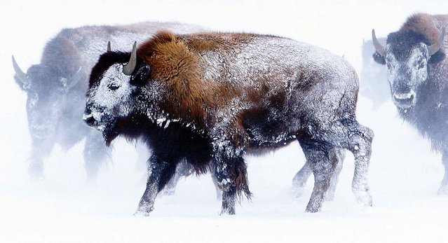 Bison along the Bitterroot Valley's Eastside Highway north of Stevensville, Montana, are covered in snow following a blizzard on November 23, 2010. (Photo by Perry Backus/The Missoulian)