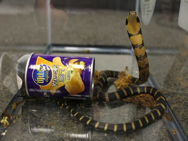 A king cobra snake seen coming out of container of chips in this undated handout photo obtained July 25, 2017. (Photo by Reuters/United States Attorney's Office Central District of California)
