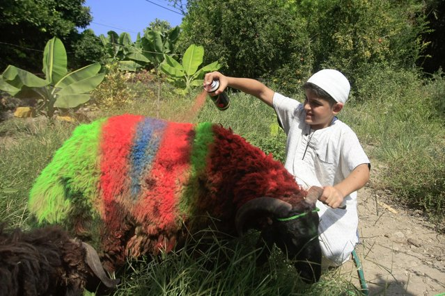 Rafik al Hibish, 11, colors a sheep ahead of the Muslim holiday of Eid al-Adha in in the southern port city of Sidon, Lebanon, Friday, September 9, 2016. Eid al-Adha, or Feast of Sacrifice, commemorates what Muslims believe was Prophet Abraham's willingness to sacrifice his son. (Photo by Mohammed Zaatari/AP Photo)
