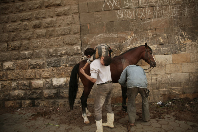 "In this Saturday, March 8, 2014 photo, Mohamed Mahmoud, right, trims the hair of a horse as the owner entertains Mahmoud's five year-old son, Mustafa in Cairo, Egypt. ""My grandfather began the trade, but my father and uncles were barbers too. My father taught me and I am teaching my son"", Mahmoud said. (Photo by Maya Alleruzzo/AP Photo)"