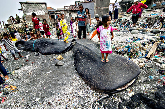 Indonesian people look at two dead whale sharks in Surabaya on October 26, 2015, after they were accidentally snared by fishermen. (Photo by Juni Kriswanto/AFP Photo)