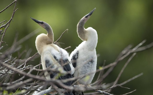 Baby anhingas, a few weeks old, wait for the mature birds to return to their nest with food at the Wakodahatchee Wetlands near Delray Beach, Fla., Sunday, March 17, 2013. (Photo by J. Pat Carter/AP Photo)