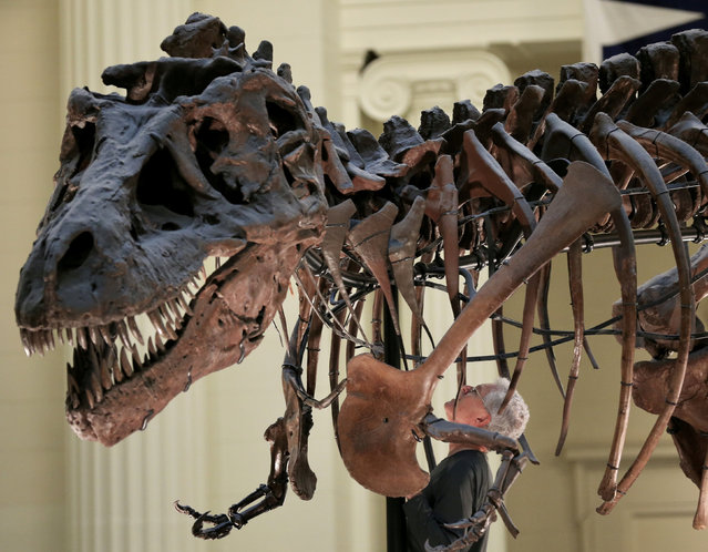 """Bill Simpson looks inside a fossil of a Tyrannosaurus rex known as """"Sue"""", before removing its forelimb to be used for research at the Field Museum in Chicago, Illinois, U.S., October 6, 2016. """"Sue"""" is the nickname given to FMNH PR 2081, which is the largest, most extensive and best preserved Tyrannosaurus rex specimen ever found at over 90% recovered by bulk. It has a length of 12.3 meters (40 ft), stands 3.66 m (12 ft) tall at the hips, and was estimated to have weighed around 6.4 to 10.2 metric tons when alive. It was discovered in the summer of 1990, by Sue Hendrickson, a paleontologist, and was named after her. After ownership disputes were settled, the fossil was auctioned in October 1997, for US $7.6 million, the highest amount ever paid for a dinosaur fossil, and is now a permanent feature at the Field Museum of Natural History in Chicago, Illinois. (Photo by Jim Young/Reuters)"""