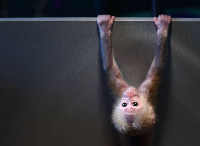 This photo taken on December 28, 2014 shows a red-faced macaque baby monkey playing in its box at a zoo in Hangzhou, in eastern China's Hangzhou province. The baby monkey, born some two months ago, quickly became popular for its restless movements that resembled a gymnast, local media reported. (Photo by AFP Photo)