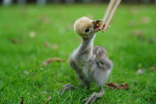 A staff member feeds a newborn demoiselle crane nestling in Aixi Lake wetland park in Nanchang, capital of east China's Jiangxi Province, June 29, 2020. A demoiselle crane nestling was born in Aixi Lake wetland park on June 23. Staff members transfered it and took care of it to prevent it from being hurt by other wild animals. The nestling will be released back to its parents when it grows older. Demoiselle crane is on the country's second-level protection list. (Photo by Xinhua News Agency/Rex Features/Shutterstock)