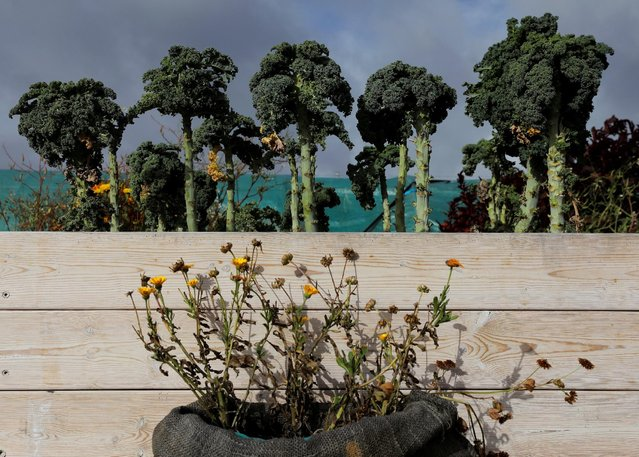 Kale grows at Kajodlingen farm in Gothenburg, Sweden, September 28, 2016. (Photo by Maxim Shemetov/Reuters)