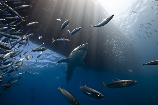 """Great White Shark of Guadalupe Island"". A great white shark very quiet under the boat and a lot of fish. The sun ray lighting the head of the shark. Location: Guadalupe Island, Mexico. (Photo and caption by Marc Henauer/National Geographic Traveler Photo Contest)"