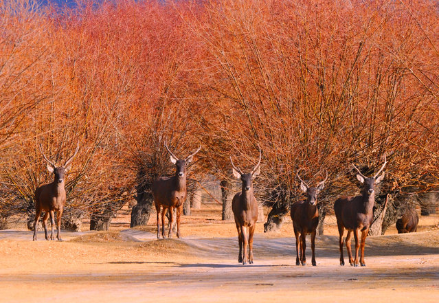 Photo taken on January 6, 2018 shows red deers in a forest of the nature reserve in Shannan City of southwest China's Tibet Autonomous Region. Man-made sand-break forests of the nature reserve have been expanded from 500 mu (33.3 hectares) in the 1950s to 10,200 mu (680 hectares). The forests are now a winter habitat for animals including red deers, blue sheep and kinds of birds. (Photo by Zhang Rufeng/Xinhua/Barcroft Images)