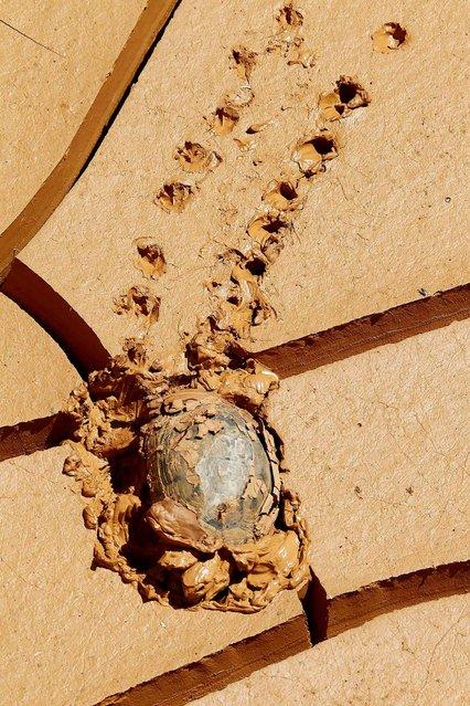 A tortoise makes its way through mud in Kfar Kila village near the Lebanese-Israeli border, in south Lebanon, on July 29, 2013. (Photo by Ali Hashisho/Reuters)