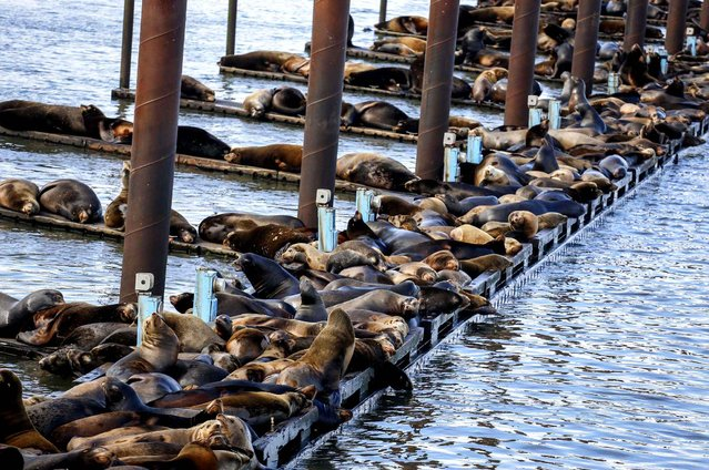 In this March 24, 2015, photo, California sea lions and harbor seals rest on the docks of the East End Mooring Basin in Astoria, Ore. During a Feb. 11 aerial survey, the Washington Department of Fish and Wildlife counted more than 1,200 California sea lions at the East End Mooring Basin, along with nearly 600 Steller and California sea lions on the South Jetty. (Photo by Joshua Bessex/AP Photo/Daily Astorian)