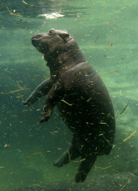 A baby hippo swims under the water in its enclosure at Prague Zoo, Czech Republic, February 24, 2016. (Photo by David W. Cerny/Reuters)
