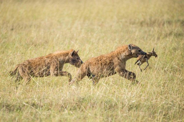 Hyenas run off with young Thomson's gazelle, in Masai Mara, Kenya, August 2015. A photographer captured one of the oldest rivalries in the animal kingdom as a pair of lions went head to head with a pack of hungry hyenas. Snapped in the heart of the Masai Mara, south Kenya, the pictures give an insight into the day-to-day battles between Africa's most deadly predators. German photographer Ingo Gerlach took the powerful images while on safari in the iconic game reserve in August 2015, witnessing first hand the good and bad side of nature. (Photo by Ingo Gerlach/Barcroft Images)