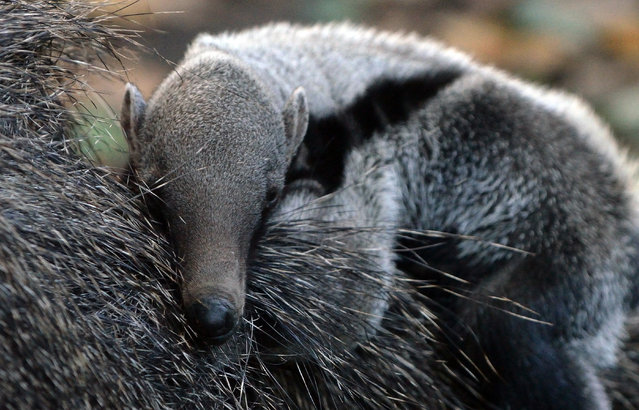 A three-week young porcupine baby lies on its mother in their enclosure at the zoo in Szeged, Hungary on October 3, 2013. (Photo by Csaba Segesvari/AFP Photo)
