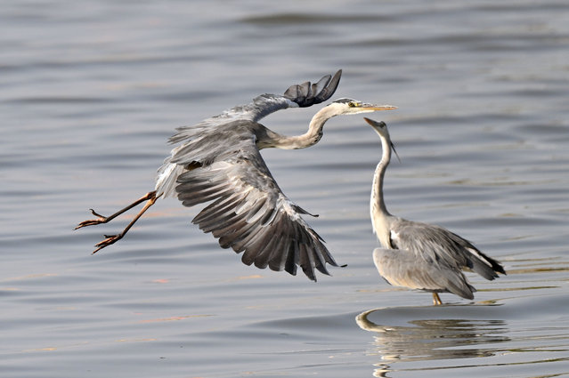 Grey herons are seen at a beach in Jahra Governorate, Kuwait, September 25, 2021. (Photo by Xinhua News Agency/Rex Features/Shutterstock)