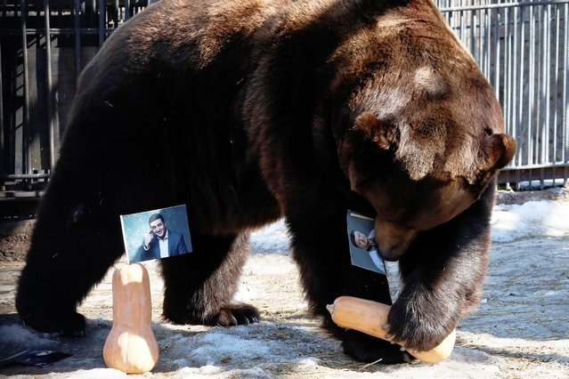 Buyan, a male Siberian brown bear, chooses a pumpkin with a photograph of candidate Petro Poroshenko while attempting to predict the winner of the Ukrainian presidential election during an event at the Royev Ruchey Zoo in Krasnoyarsk, Russia March 28, 2019. (Photo by Ilya Naymushin/Reuters)